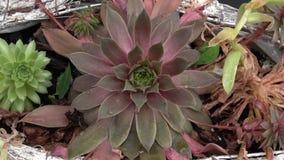 Kwiatu przygotowania sekrety i kaktusy zbiory