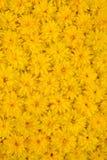 kwiatu przywódca grupy laciniata rudbeckia Obraz Royalty Free