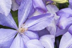 Kwiatu Purpurowy Clematis Obrazy Royalty Free