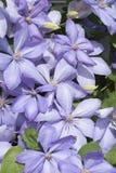 Kwiatu Purpurowy Clematis Obrazy Stock
