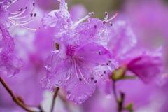 Kwiatu różanecznik podczas deszczu zdjęcie stock