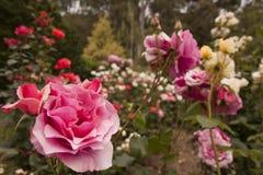 Kwiatu różany ogród zdjęcia royalty free