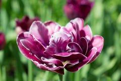 kwiatu różowego strzału tulipanowy vertical Zdjęcie Royalty Free