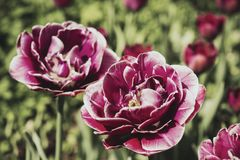 kwiatu różowego strzału tulipanowy vertical Fotografia Royalty Free