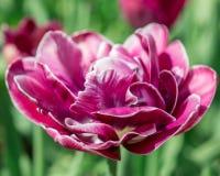 kwiatu różowego strzału tulipanowy vertical Obraz Stock