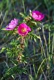 Kwiatu różany biodro Obrazy Royalty Free