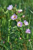 Kwiatu różany biodro Obraz Stock