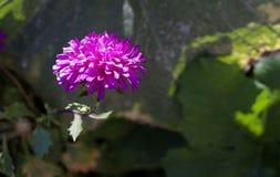 Kwiatu różowy aster Zdjęcie Royalty Free