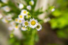 Kwiatu ?r?dpolny chamomile Makro- fotografia zdjęcie royalty free