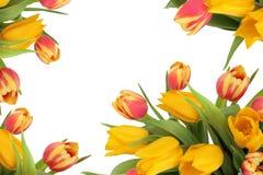 kwiatu rabatowy tulipan Obraz Stock