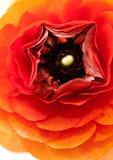 kwiatu rananunculs czerwony biel Zdjęcie Royalty Free