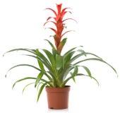 kwiatu rośliny garnek Zdjęcia Stock
