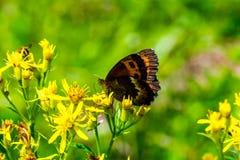 Kwiatu słońca motyl Obraz Royalty Free