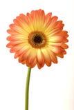 kwiatu słońce Fotografia Stock