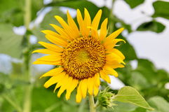 kwiatu słońce Fotografia Royalty Free