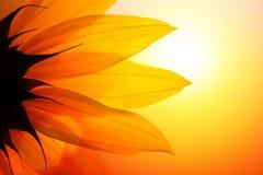 kwiatu słonecznik Zdjęcie Royalty Free