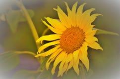 Kwiatu słonecznik Fotografia Stock