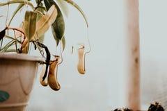 Kwiatu ` s puchar, kaktus, echeverias, rośliny, dziecko obraz stock