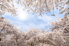 Kwiatu Sakura wiosny menchii okwitnięcia Obrazy Royalty Free