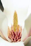 Kwiatu stamen Fotografia Royalty Free