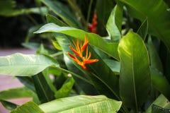 Kwiatu Strelitzia Ptasi raj Fotografia Royalty Free