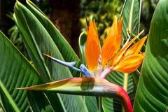 Kwiatu Strelitzia Ptasi raj wyspa kanaryjska Tenerife Zdjęcia Royalty Free