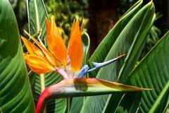 Kwiatu Strelitzia Ptasi raj wyspa kanaryjska Tenerife Trop Obrazy Royalty Free