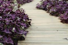 Kwiatu szczawika triangularis (Purpurowy shamrock) Obrazy Stock