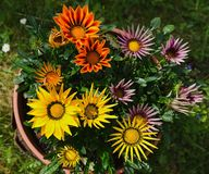 Kwiatu szczegół Gazania obrazy royalty free