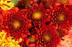 Kwiatu tło czerwoni i żółci mums Fotografia Royalty Free