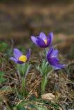kwiatu TARGET1045_0_ pasque trzy Obraz Stock