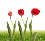 kwiatu trawy zieleni tulipan Fotografia Royalty Free