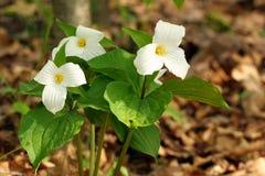 kwiatu trillium Zdjęcia Stock