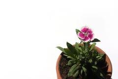 kwiatu trochę menchie Obrazy Royalty Free
