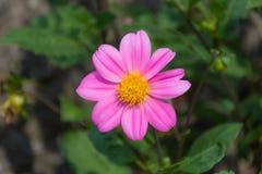 kwiatu trochę menchie Zdjęcia Royalty Free