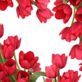 kwiatu tuilp ramowy czerwony Zdjęcia Stock