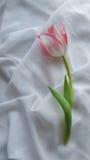 Kwiatu tulipan na białej tkaninie Fotografia Royalty Free