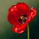 Kwiatu tulipan w wiośnie Obrazy Royalty Free