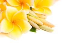 kwiatu ustawiony frangipani wpólnie obraz stock
