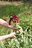Kwiatu utrzymania i ogrodnictwa pojęcie Zamyka w górę strzału kobiety Zdjęcie Royalty Free