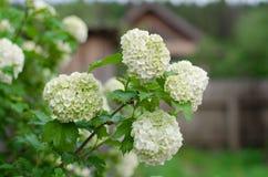 Kwiatu viburnum zbli?enie zdjęcia stock