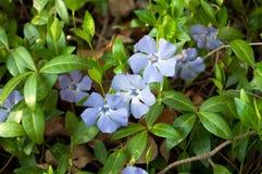 kwiatu vinca Fotografia Royalty Free
