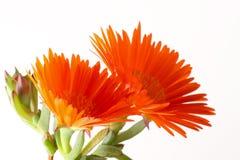kwiatu vygie Zdjęcia Stock