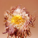 kwiatu więdnąć Zdjęcia Stock