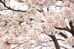 kwiatu wiśnia folujący drzewa Obrazy Stock