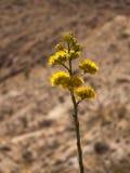 kwiatu wieka pustyni rośliny Zdjęcie Stock