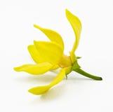 kwiatu ylang Obrazy Stock