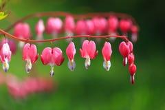 Kwiatu złamanego serca serce Jeanette Kwitnąć Bush w ogródzie Krwawiącego serca Dicentra fotografia stock