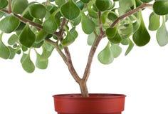 kwiatu zielony domowy rośliny garnek Obrazy Royalty Free