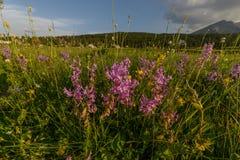 kwiaty łąkę Zdjęcia Royalty Free